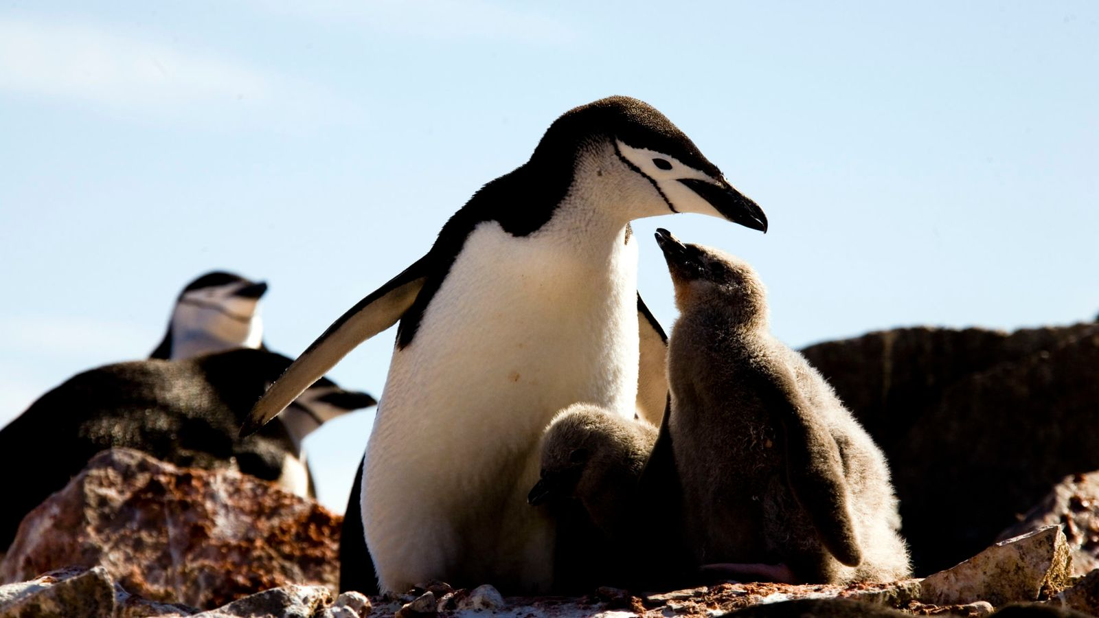 Penguin colony numbers collapse, with climate change thought to be to blame